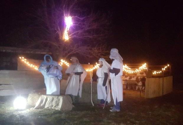 nativity with cows