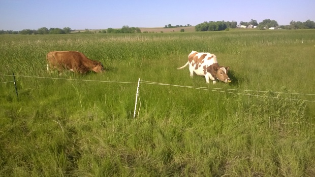 cows grazing wetlands